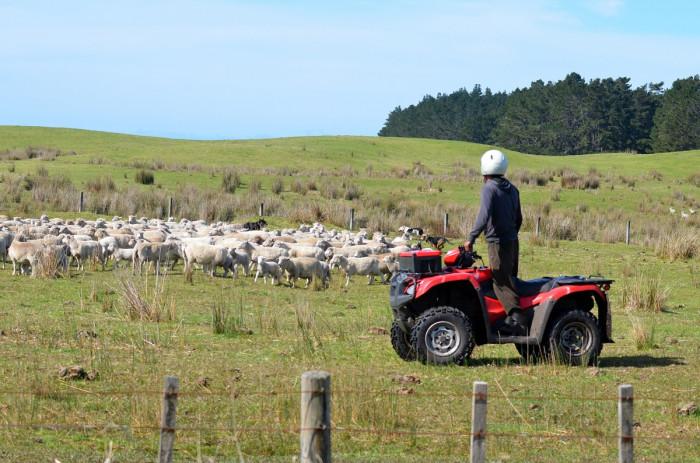 Farmer on a quad bike herds sheep in a paddock